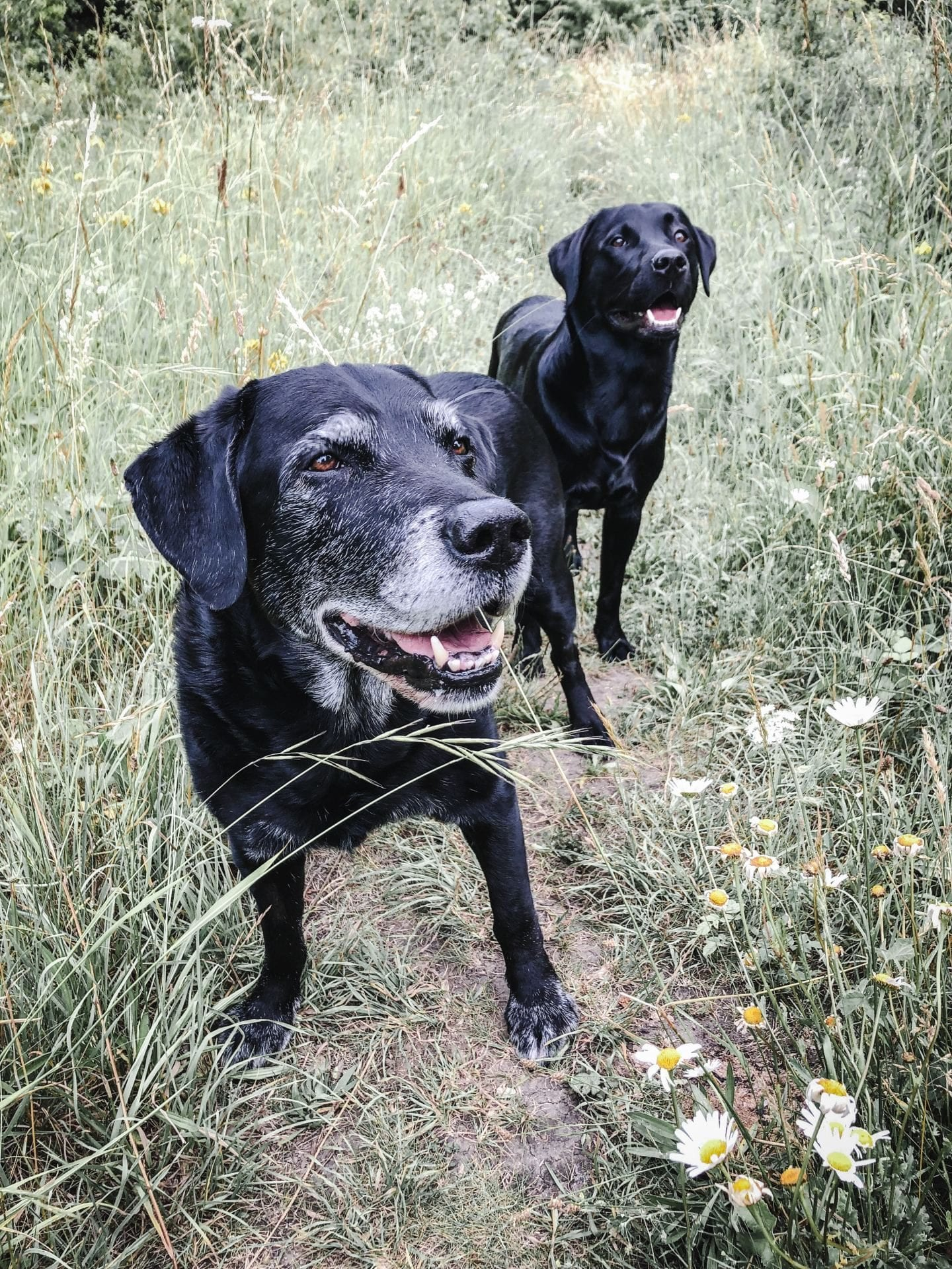 black labrador dogs working gun dogs